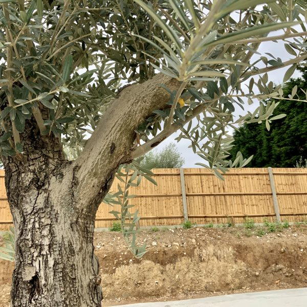 """C390 Individual Gnarled Olive Tree XXL """"Summer Deal"""" - IMG 8719 scaled"""