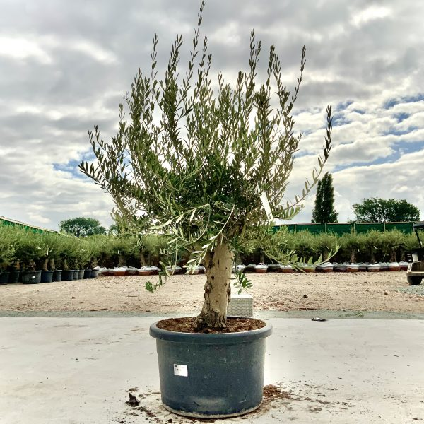 """C390 Individual Gnarled Olive Tree XXL """"Summer Deal"""" - IMG 8720 scaled"""