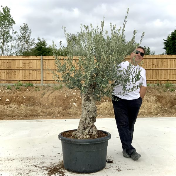 """C417 Individual Gnarled Olive Tree XXL """"Summer Deal"""" - IMG 8723 scaled"""
