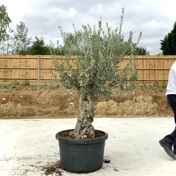 """C417 Individual Gnarled Olive Tree XXL """"Summer Deal"""" - IMG 8724 scaled"""