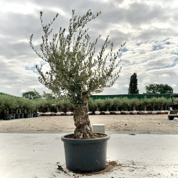 """C417 Individual Gnarled Olive Tree XXL """"Summer Deal"""" - IMG 8726 scaled"""