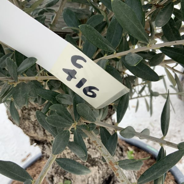 """C416 Individual Gnarled Olive Tree XXL """"Summer Deal"""" - IMG 8728 scaled"""
