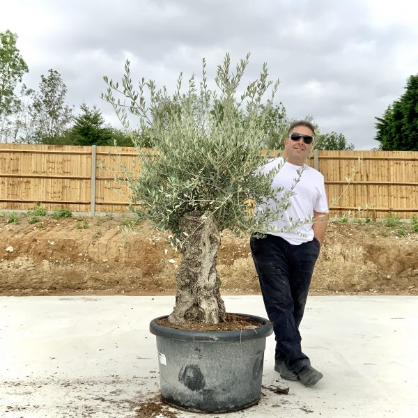 """C416 Individual Gnarled Olive Tree XXL """"Summer Deal"""" - IMG 8729 scaled"""