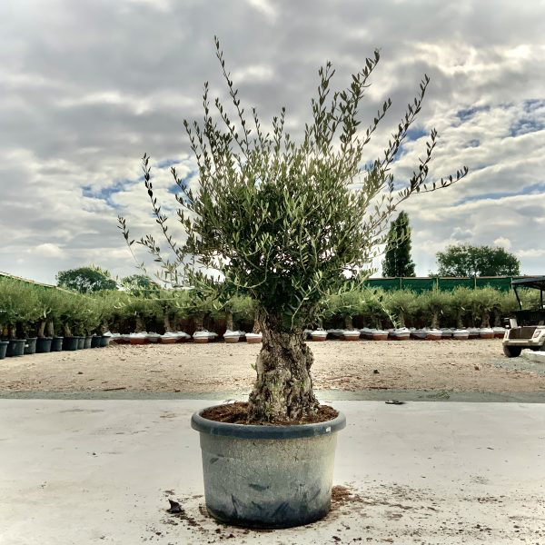 """C416 Individual Gnarled Olive Tree XXL """"Summer Deal"""" - IMG 8732 scaled"""