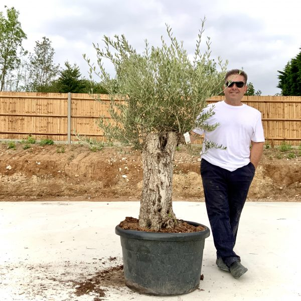 """C415 Individual Gnarled Olive Tree XXL """"Summer Deal"""" - IMG 8735 scaled"""