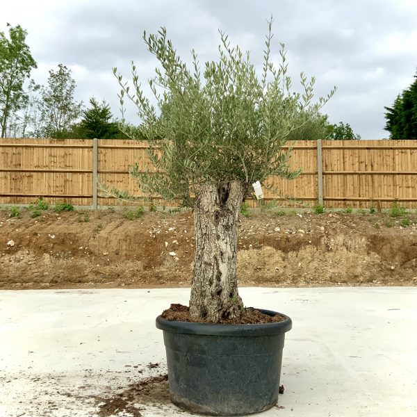 """C415 Individual Gnarled Olive Tree XXL """"Summer Deal"""" - IMG 8736 scaled"""