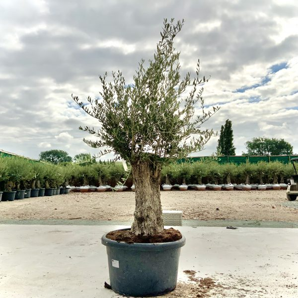 """C415 Individual Gnarled Olive Tree XXL """"Summer Deal"""" - IMG 8738 scaled"""
