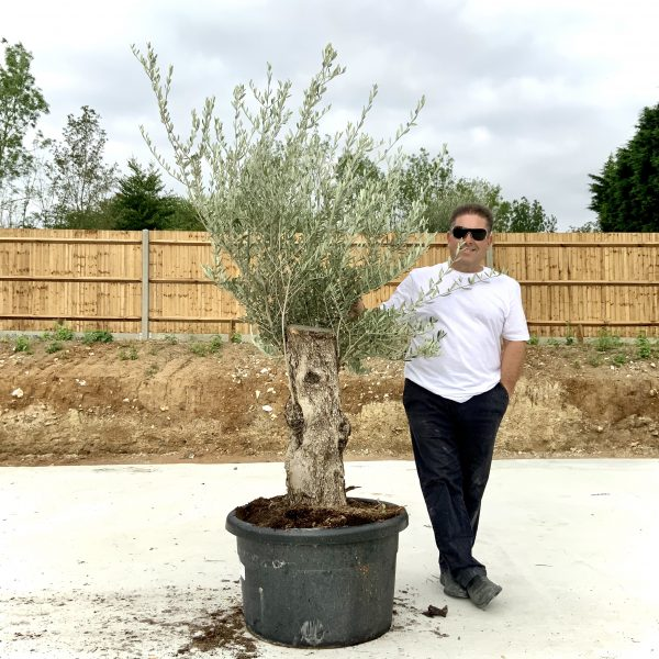 """C414 Individual Gnarled Olive Tree XXL """"Summer Deal"""" - IMG 8741 scaled"""