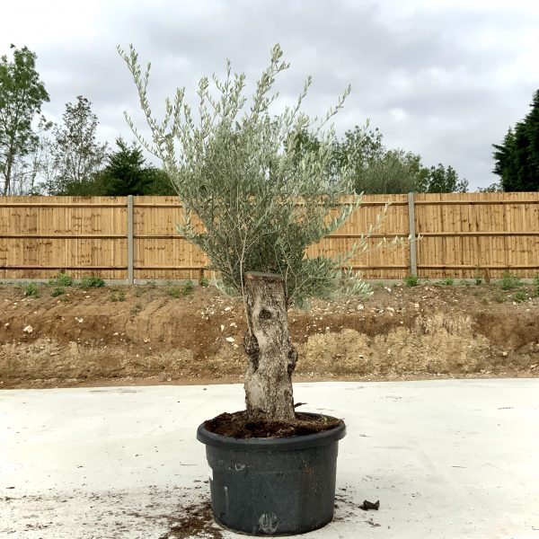 """C414 Individual Gnarled Olive Tree XXL """"Summer Deal"""" - IMG 8742 scaled"""