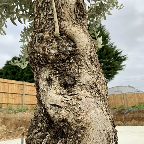 """C414 Individual Gnarled Olive Tree XXL """"Summer Deal"""" - IMG 8743 scaled"""