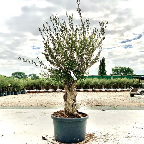 """C414 Individual Gnarled Olive Tree XXL """"Summer Deal"""" - IMG 8744 scaled"""