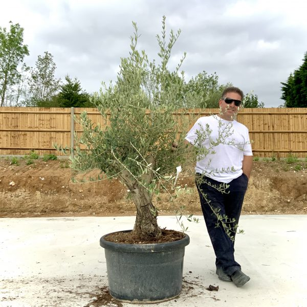 """C413 Individual Gnarled Olive Tree XXL """"Summer Deal"""" - IMG 8747 scaled"""