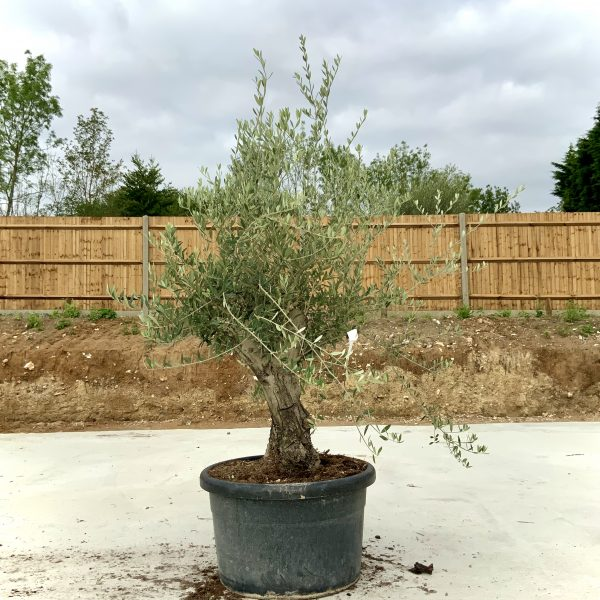 """C413 Individual Gnarled Olive Tree XXL """"Summer Deal"""" - IMG 8748 scaled"""