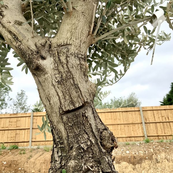 """C413 Individual Gnarled Olive Tree XXL """"Summer Deal"""" - IMG 8749 scaled"""