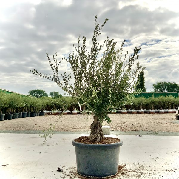 """C413 Individual Gnarled Olive Tree XXL """"Summer Deal"""" - IMG 8750 scaled"""
