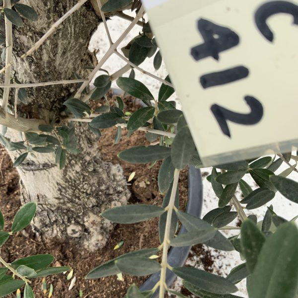"""C412 Individual Gnarled Olive Tree XXL """"Summer Deal"""" - IMG 8752 scaled"""