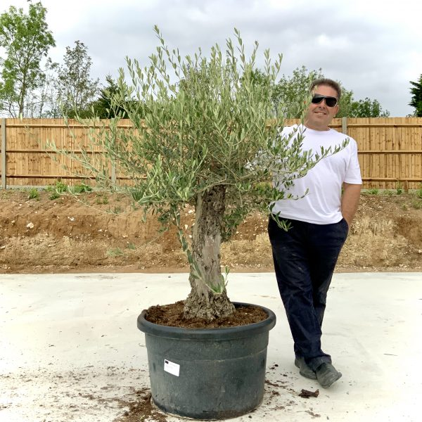 """C412 Individual Gnarled Olive Tree XXL """"Summer Deal"""" - IMG 8753 scaled"""