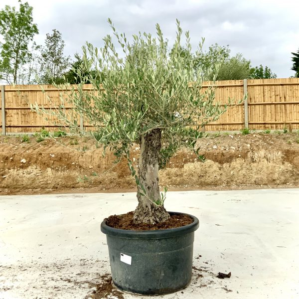 """C412 Individual Gnarled Olive Tree XXL """"Summer Deal"""" - IMG 8754 scaled"""