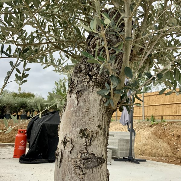 """C412 Individual Gnarled Olive Tree XXL """"Summer Deal"""" - IMG 8755 scaled"""