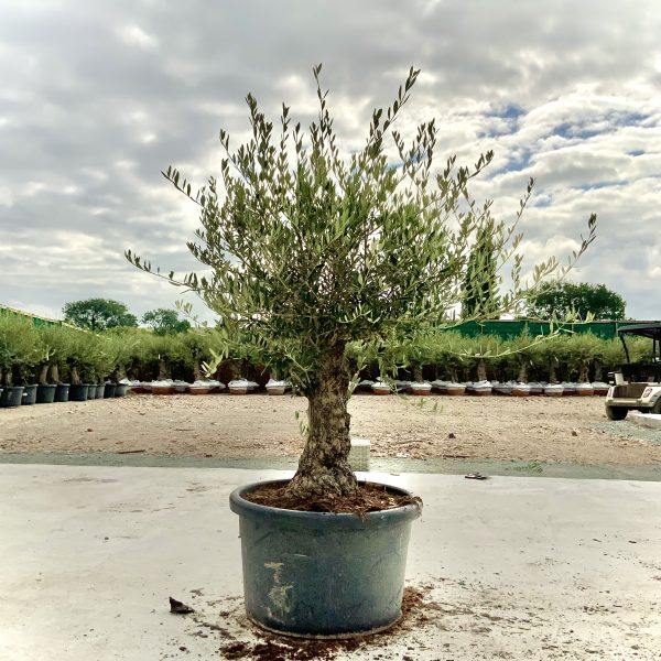 """C412 Individual Gnarled Olive Tree XXL """"Summer Deal"""" - IMG 8756 scaled"""