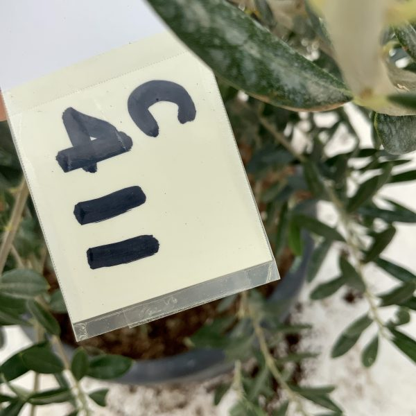 """C411 Individual Gnarled Olive Tree XXL """"Summer Deal"""" - IMG 8758 scaled"""