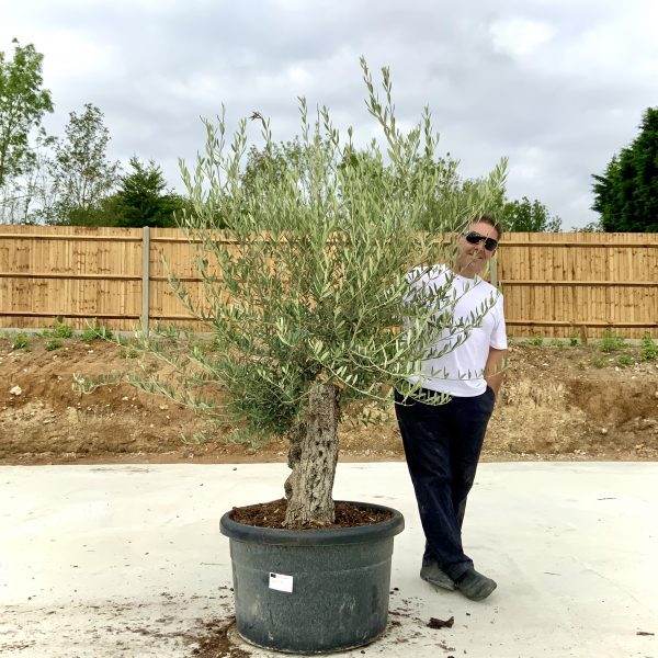 """C411 Individual Gnarled Olive Tree XXL """"Summer Deal"""" - IMG 8759 scaled"""