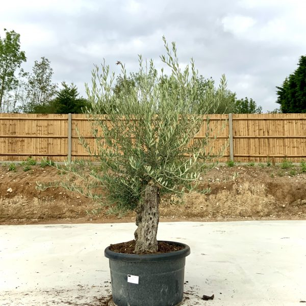"""C411 Individual Gnarled Olive Tree XXL """"Summer Deal"""" - IMG 8760 scaled"""