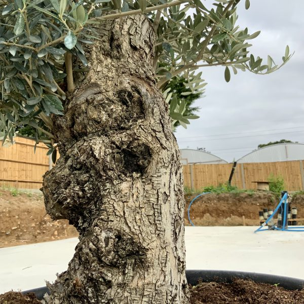 """C411 Individual Gnarled Olive Tree XXL """"Summer Deal"""" - IMG 8761 scaled"""