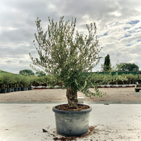 """C411 Individual Gnarled Olive Tree XXL """"Summer Deal"""" - IMG 8762 scaled"""