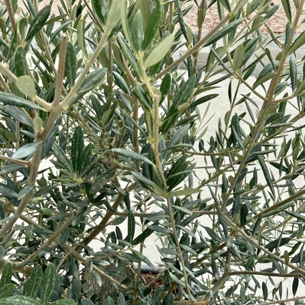 """C411 Individual Gnarled Olive Tree XXL """"Summer Deal"""" - IMG 8763 scaled"""