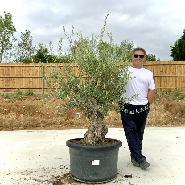 """C409 Individual Gnarled Olive Tree XXL """"Summer Deal"""" - IMG 8766 scaled"""