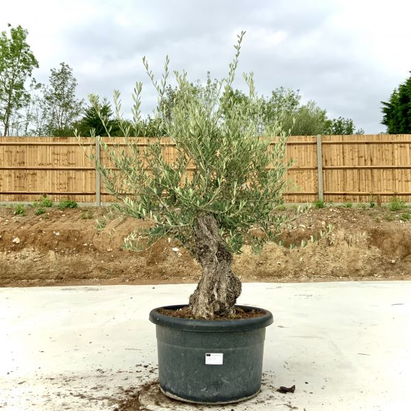 """C409 Individual Gnarled Olive Tree XXL """"Summer Deal"""" - IMG 8767 scaled"""