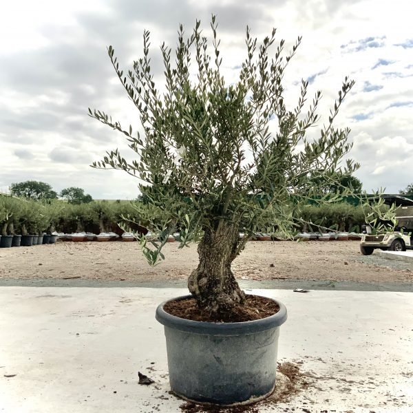 """C409 Individual Gnarled Olive Tree XXL """"Summer Deal"""" - IMG 8769 scaled"""