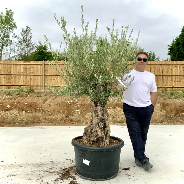 """C407 Individual Gnarled Olive Tree XXL """"Summer Deal"""" - IMG 8778 scaled"""