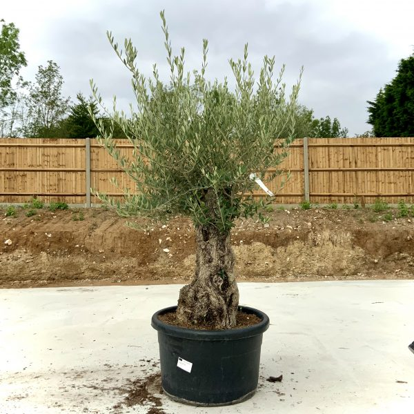 """C407 Individual Gnarled Olive Tree XXL """"Summer Deal"""" - IMG 8779 scaled"""