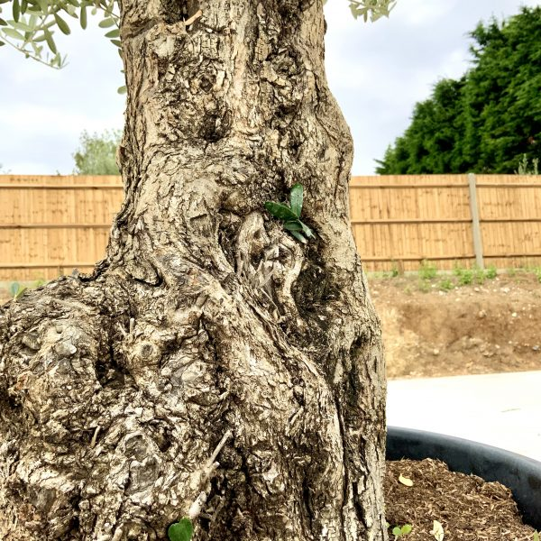 """C407 Individual Gnarled Olive Tree XXL """"Summer Deal"""" - IMG 8780 scaled"""
