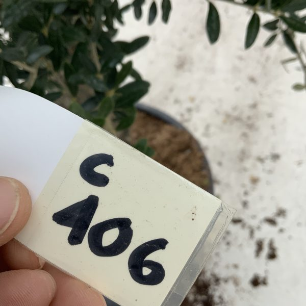 """C406 Individual Gnarled Olive Tree XXL """"Summer Deal"""" - IMG 8783 scaled"""