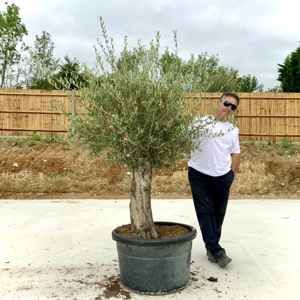 """C406 Individual Gnarled Olive Tree XXL """"Summer Deal"""" - IMG 8784 scaled"""