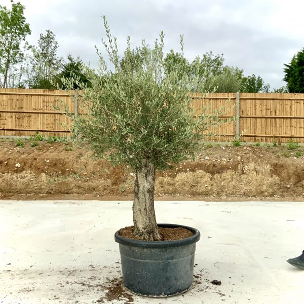 """C406 Individual Gnarled Olive Tree XXL """"Summer Deal"""" - IMG 8785 scaled"""