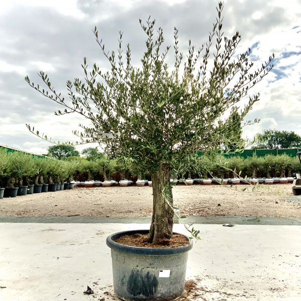 """C406 Individual Gnarled Olive Tree XXL """"Summer Deal"""" - IMG 8787 scaled"""