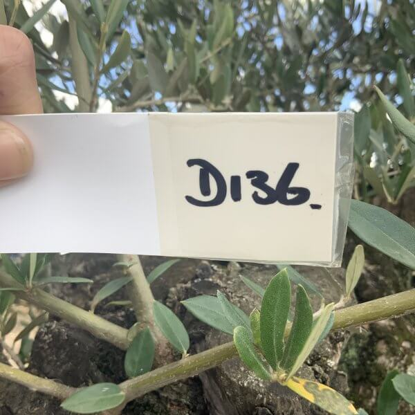 D136 Individual Gnarled Olive Tree XXL - IMG 0779 scaled