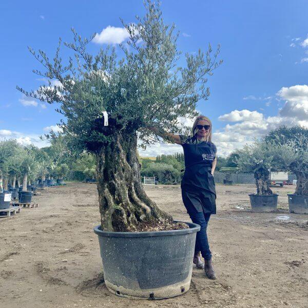 D136 Individual Gnarled Olive Tree XXL - IMG 0780 scaled