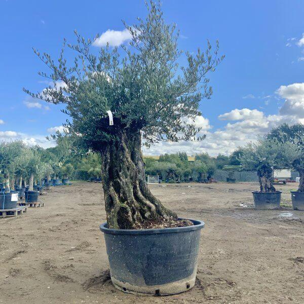 D136 Individual Gnarled Olive Tree XXL - IMG 0781 scaled