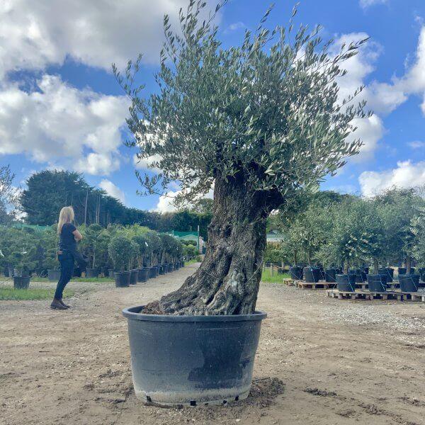 D136 Individual Gnarled Olive Tree XXL - IMG 0782 scaled