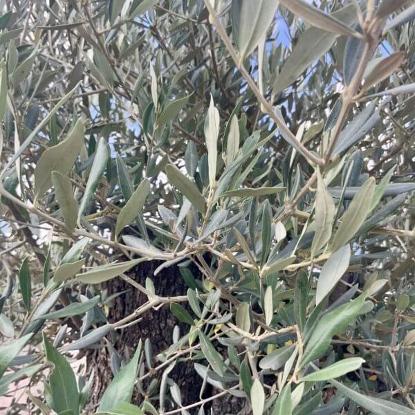 D136 Individual Gnarled Olive Tree XXL - IMG 0784 scaled